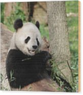 Wild Panda Bear Eating Bamboo Shoots While Leaning Against A Tre Wood Print