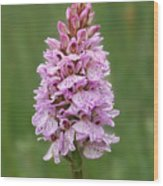 Wild Pink Spotted Orchid Wood Print