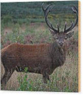 Wild Red Deer Stag Wood Print