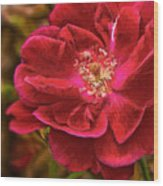 Wild Rose As Oil Wood Print