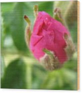 Wild Rose Bud Wood Print