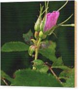 Wild Rosebud Wood Print