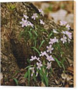 Wild Spring Beauty Wood Print