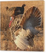 Wild Turkey Tom Following Hens Wood Print by Max Allen