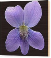 Wild Violet On Black Wood Print