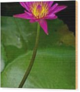 Wild Water Lily Wood Print