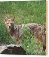 Wiley Coyote Wood Print