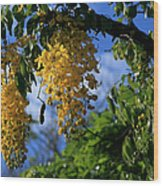 Wilhelmina Tenney Rainbow Shower Tree Makawao Maui Flowering Trees Of Hawaii Wood Print