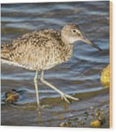 Willet Feeding In The Marsh 1 Wood Print