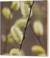 Willow Catkins Wood Print