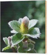 Willow Flower Wood Print
