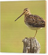 Wilson's Snipe On Morning Perch Wood Print