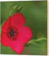 Red Annual Flox Wood Print