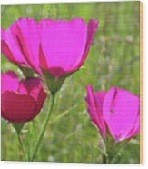 Winecup Flowers In Sunlight Wood Print