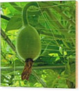 Winter Melon In Garden 3 Wood Print