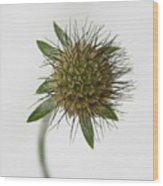 Winter Pincushion Plant Wood Print