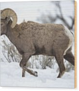 Winter Ram Wood Print