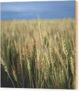 Winter Wheat In Linn, Kansas Wood Print