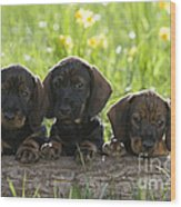 Wire-haired Dachshund Puppies Wood Print
