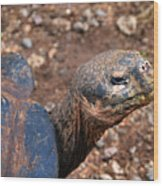 Wise Old Tortoise Wood Print