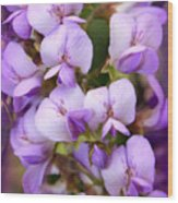 Wisteria Blossoms Wood Print