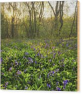 Wistow Wood Bluebells 1 Wood Print
