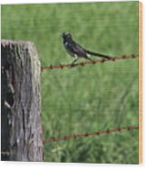 Willie Wagtail Wood Print
