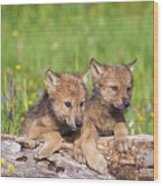 Wolf Cubs On Log Wood Print