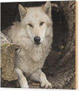 Wolf In A Log Wood Print