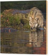 Wolf In Pond Wood Print