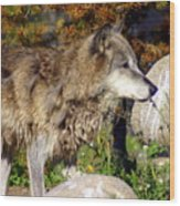 Wolf On Patorl Wood Print
