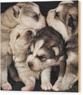 Wolf Pups Wood Print