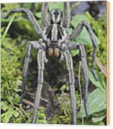 Wolf Spider Hogna Sp Male, Mindo Wood Print