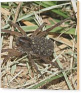 Wolf Spider With Babies Wood Print