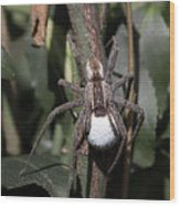 Wolf Spider With Egg Sac Wood Print