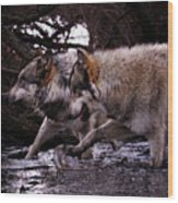 Wolves Synchronized Dancing Wood Print