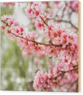 Wonderful Pink Cherry Blossoms At Floriade Wood Print