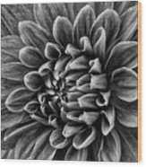 Wonderful Tones Dramantic Dahlia Wood Print
