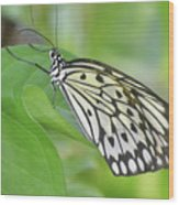 Wonderful Up Close Look At A Large Tree Nymph Butterfly Wood Print