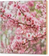 Wonderfully Delicate Pink Cherry Blossoms At Canberra's Floriade Wood Print