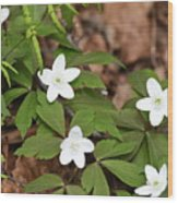 Wood Anemone Blooming Wood Print
