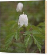 Wood Anemone Heavy From The Rain Wood Print