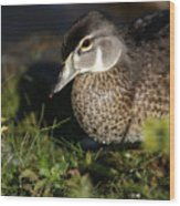 Wood Duck Female Wood Print