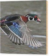 Wood Duck In Action Wood Print