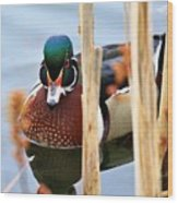 Wood Duck In The Reeds Wood Print