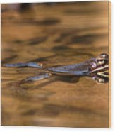Wood Frog Reflecting On Golden Pond Wood Print