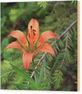 Wood Lily Also Called Prairie Lily Or Western Red Lily Wood Print