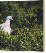 Wood Pigeon Wood Print