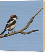 Woodchat Shrike  Wood Print