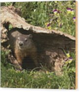 Woodchuck Ready For Spring Wood Print